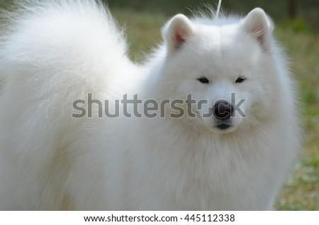 Beautiful very fluffy groomed American Eskimo dog. #445112338