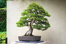 Beautiful, Vibrant, Green Juniper Bonsai Tree with Shibari