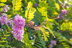 Beautiful vibrant purple colors of acacia blossom fresh brach in the spring botanical garden. Sunny spring day