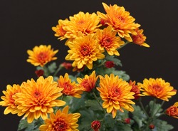 Beautiful vibrant yellow miniature Chrysanthamum, against black background.