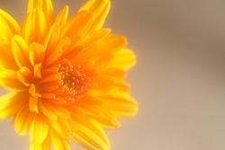 Beautiful vibrant yellow miniature Chrysanthamum, on a light background.