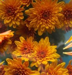Beautiful vibrant yellow miniature Chrysanthamum with blue background.