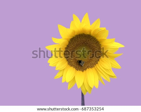 Beautiful vibrant yellow sunflower with bumblebee isolated on purple backdrop in minimal composition