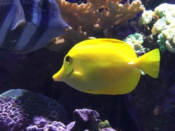 Beautiful vibrant yellow tropical fish swimming on the reef.