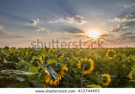 beautiful view of a field of sunflowers, dawn, the sun's rays make their way through the clouds #453744493