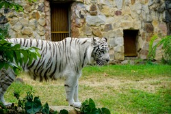 Beautiful view of a tiger at the zoo of Cali, Colombia