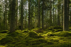Beautiful view of an elvish fir and pine forest in Sweden, with a thick layer of green moss covering rocks on the forest floor and some sunlight shining through the branches