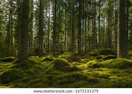 Beautiful view of an elvish fir and pine forest in Sweden, with a thick layer of green moss covering rocks on the forest floor and some sunlight shining through the branches Foto stock ©