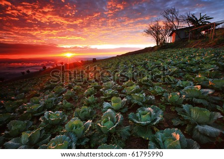 Beautiful view of Cabbage plantation at sunrise