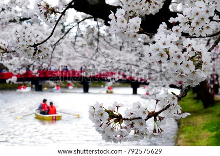 Beautiful view of Cherry blossoms or sakura with tourist boat and red bridge at Hirosaki castle moat in Hirosaki town, Aomori, Japan, selected focus on foreground