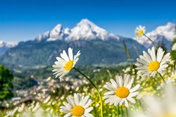 Beautiful view of idyllic grasslands in the Bavarian Alps with blooming field flowers and snow-capped mountain tops in the background in spring, Nationalpark Berchtesgadener Land, Bavaria, Germany