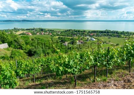 beautiful view of Lake Balaton with vineyards from the Badacsony hill Stock photo ©