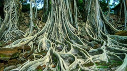 beautiful view of natural big tree roots