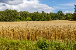 Beautiful view of part of wheat field. Yellow summer background. Agriculture concept. Sweden.