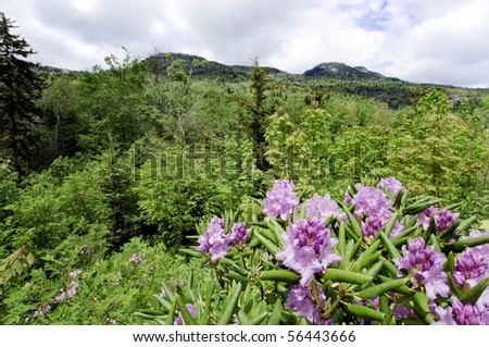 Beautiful view of the popular Blue Ridge Parkway destination Grandfather Mountain, with Catawba Rhododendron in full bloom.