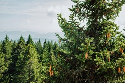 Beautiful view of top of spruce with cones and green spruce forest on background of blue mountains in the fog. Pohorje Treetop Walk, Rogla. Slovenia, Europe.