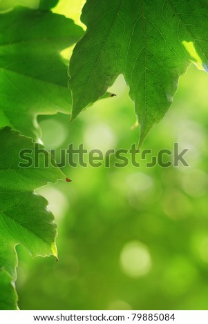 Beautiful vine creeper leaves background, with bokeh.