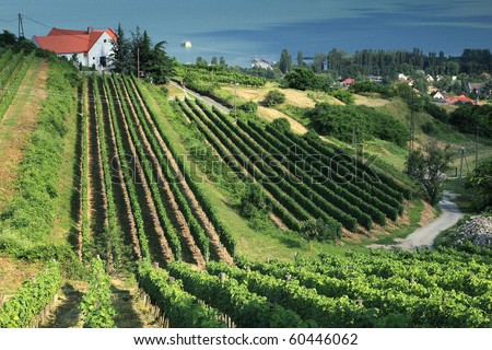 Beautiful vineyard in Badacsony, Hungary