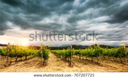 Beautiful vineyard landscape over cloudy overcast sky, agricultural panoramic scene, harvest season, vine valley, winery production of South Africa