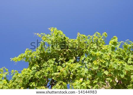 beautiful vineyard landscape with a blue sky