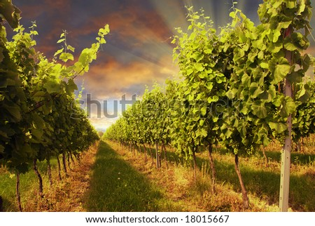 Beautiful vineyard with dramatic sky and rays of setting sun