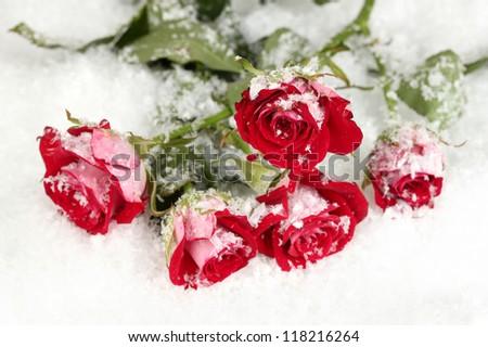 Beautiful vinous roses in the snow close-up
