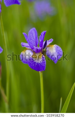 beautiful violet flower iris blooming in the garden.