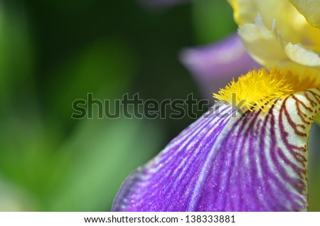 beautiful violet flower - iris blooming in the garden