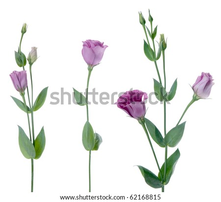 Beautiful violet flower isolated on white.