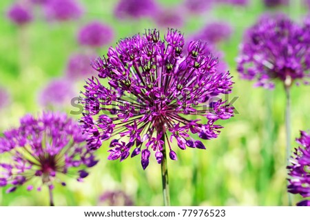 Beautiful violet flowers of allium aflatunense field