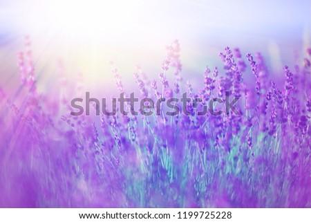 Beautiful violet lavender field #1199725228