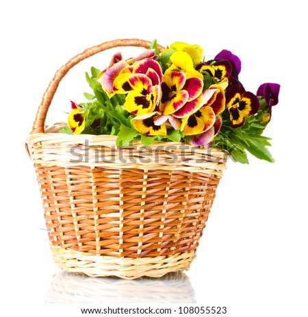 beautiful violet pansies in basket isolated on a white