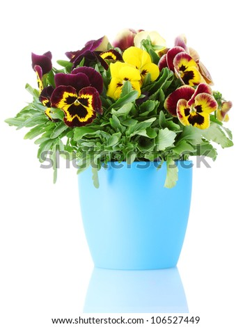 beautiful violet pansies in flowerpot isolated on a white