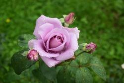 Beautiful violet rose flowers. Seasonal summer photography.
