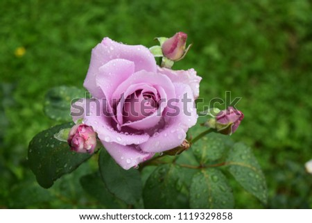 Beautiful violet rose flowers. Seasonal summer photography.