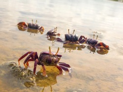 Beautiful violinist crabs living on the mud of mangroves in Senegal.