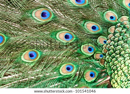 beautiful vivid peacock feathers