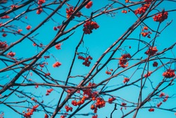 Beautiful vivid red rowan berries on branches on background of blue clear sky. Colorful nature background with rowanberry close-up in sunny day. Scenic natural backdrop with rowan berry in sunlight.