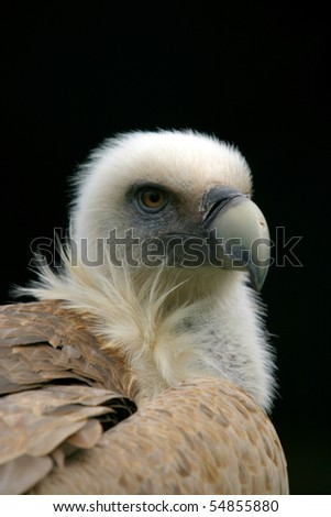 beautiful vulture, nature animal photo