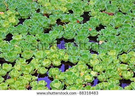 Beautiful Water Lettuce Plants Floating on Pond