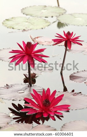 Beautiful water lily flower in bloom, aquatic garden, summer