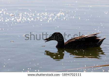 Photo of  beautiful waterfowl ducks in spring or summer, waterfowl wild ducks in the wild, small low wild ducks