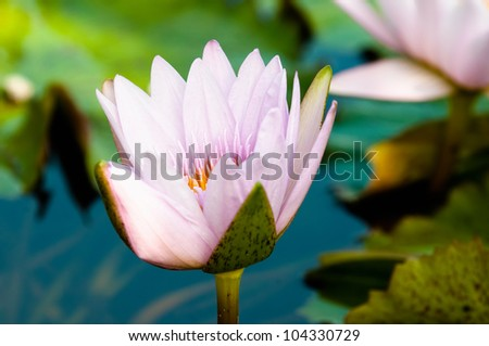 Beautiful waterlily and its reflection on calm pond surface