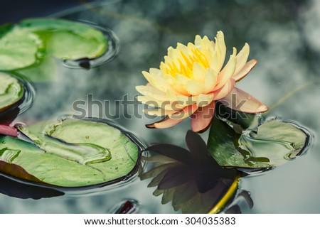 Beautiful  waterlily or lotus flower blooming in the pond #304035383