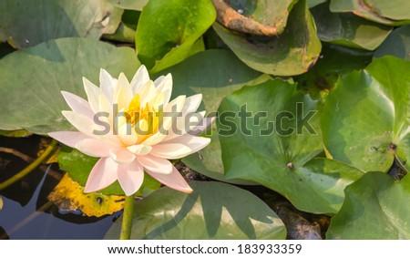 Beautiful waterlily or lotus flower in pond ez canvas beautiful waterlily or lotus flower in pond mightylinksfo