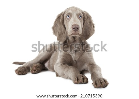 Beautiful Weimaraner puppy, three months old. Isolated on white  #210715390