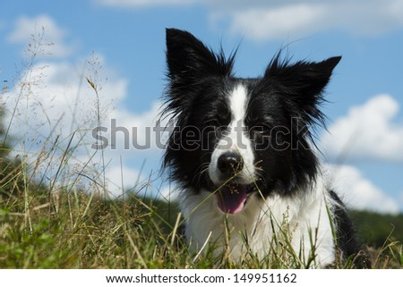 beautiful wet bordercollie