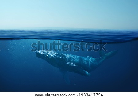 Beautiful whale underwater in the wild. Underwater world and life, concept. The whale swims in the clear ocean underwater. Blue water