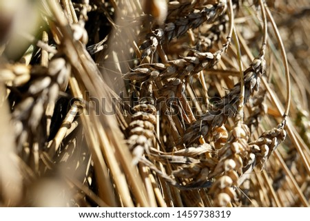 beautiful wheat branches lying at the side field countryside. Backgrounds, textures for decor design social networks accounts. Wheat ears background soft tone natural.Lying wheat ears on land. #1459738319