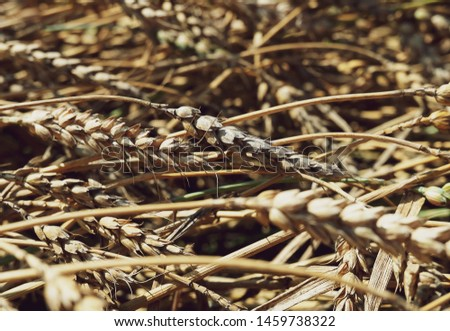 beautiful wheat branches lying at the side field countryside. Backgrounds, textures for decor design social networks accounts. Wheat ears background soft tone natural. Lying wheat ears on the ground. #1459738322